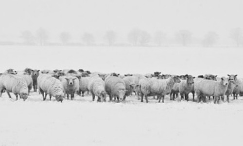 Sheep: Huddles for Bad Weather