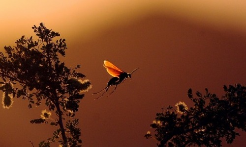 Tarantula Hawks