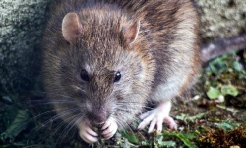Oriental Rat Fleas