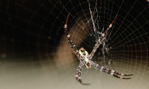 Hobo Spiders