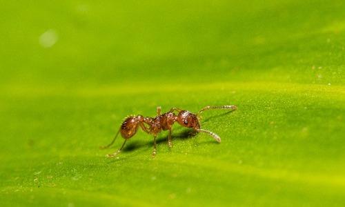 Maricopa Harvester Ants