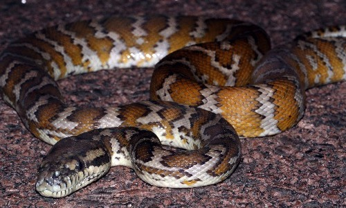 Carpet Viper