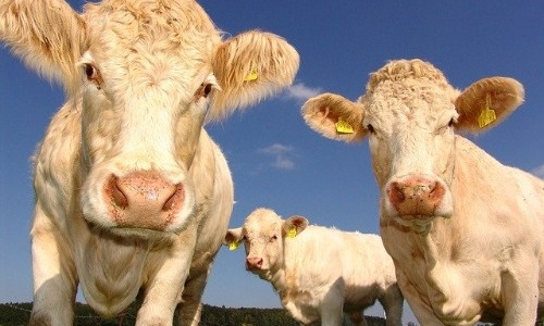 Raising Livestock Contributes to Air Pollution