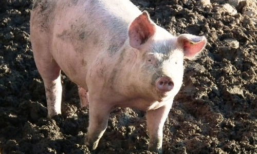 Pigs Can't Look Up While Standing