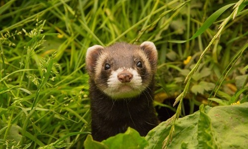 Ferrets Can Die After a Year of No Sex