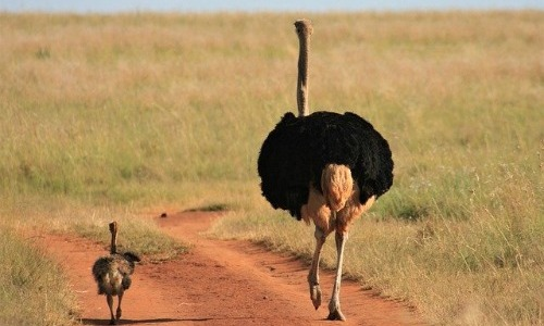 Ostrich's Eyes Are Bigger Than Its Brain