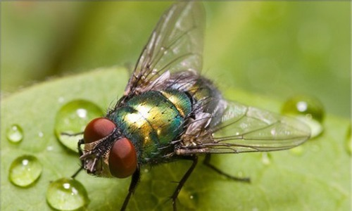 Colonisation Of Blowflies And Flesh Flies