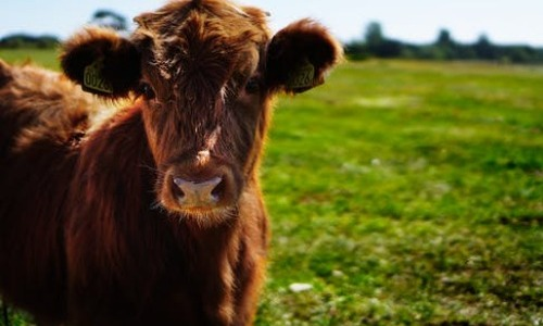 The 'Mad Cow' Disease