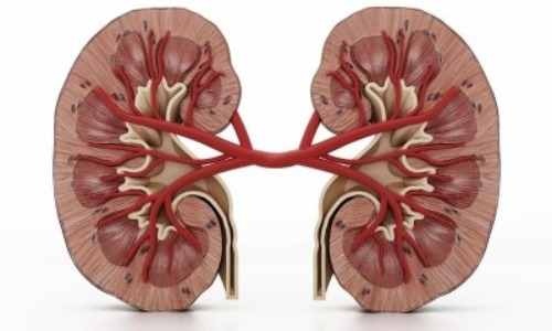 Humans Can Survive On One Kidney