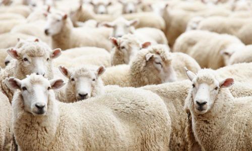 Sacrificing Sheep To Diagnose