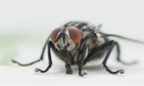 Flies Can Spread Lots of Diseases