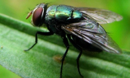 Flies Play A Big Role In The Food Chain