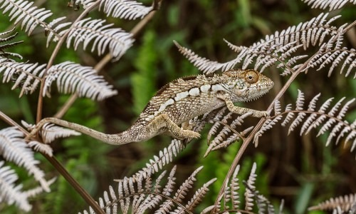 Chameleons Can Camouflage Themselves By Changing Colour