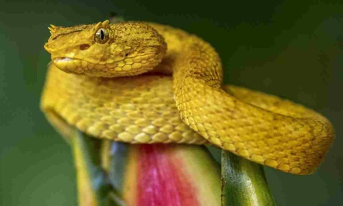 These Snakes Are Critically Endangered