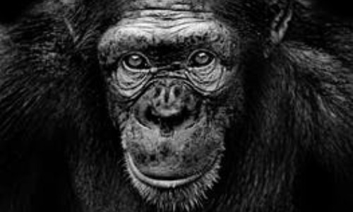 Apes Are Miraculously Smart