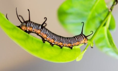 Caterpillar Becomes Soup Before It Transforms Into A Butterflies?
