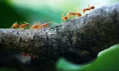 Army Red Ants