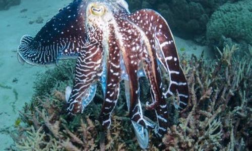 Male Cuttlefish Can Fool Fellow Male Cuttlefish
