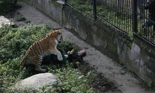 Siberian Tiger Mauling