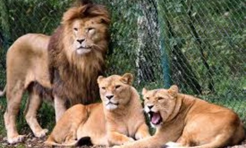 Lion Attacks Zoo Keeper