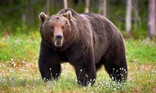 Grizzle Bear Attacks Celeb