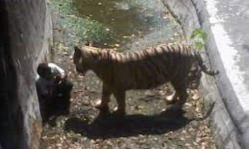 Tiger In Zoo Kills Visitor