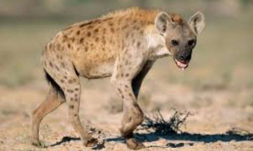 Vicious Hyenas Kill Old Man