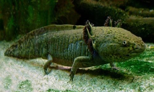 Strange Behavior Of Axolotl